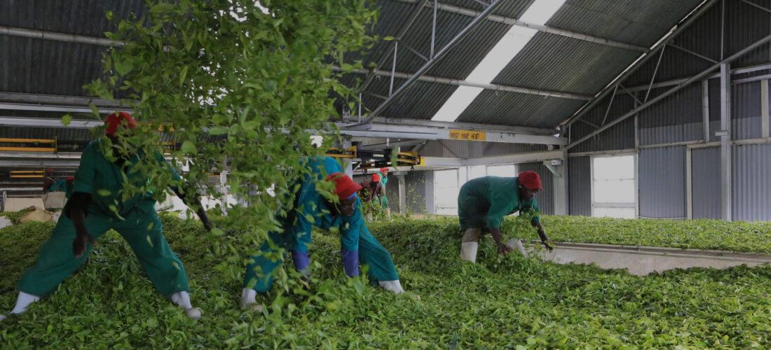 Malawian tea workers awarded $3m for gender-based violence