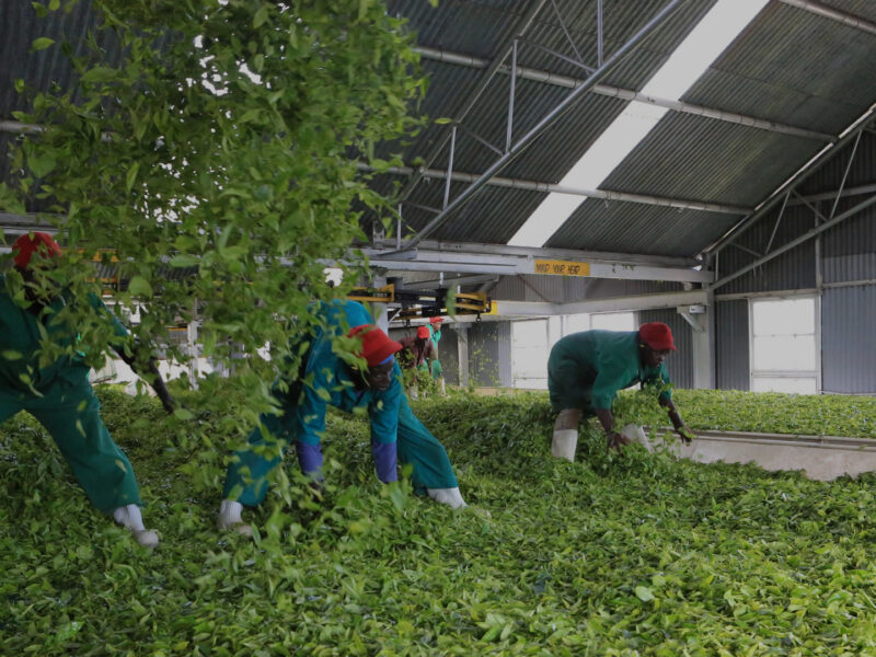 Malawian tea workers awarded $3m for gender-based violence